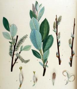 Salix_daphnoides