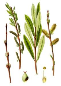 Salix_purpurea 1