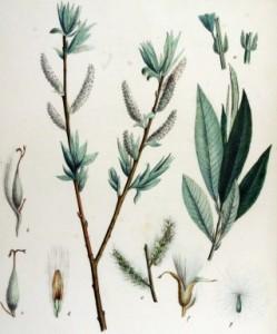 Salix_smithiana 1