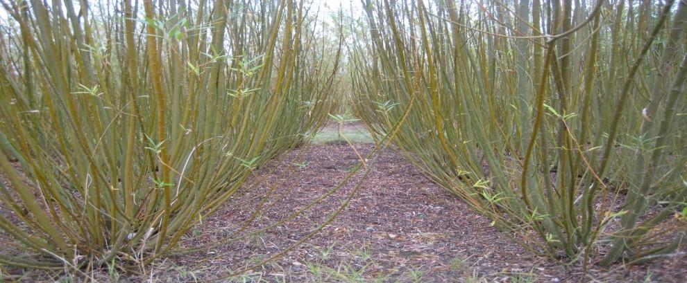 RRD - pěstování topolů a vrb